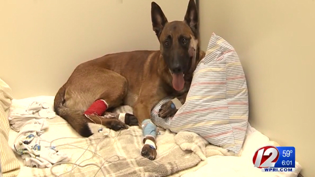 K-9 officer Nero recovering from shooting