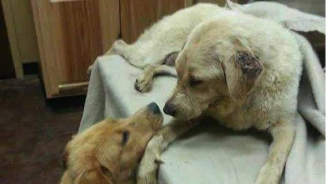 Dog With Failing Kidneys Receives Transplant From Her Own Puppy